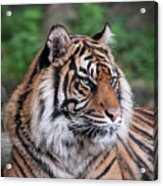Sumatran Tigress Portrait  Acrylic Print
