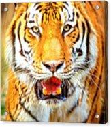 Tiger On The Hunt Acrylic Print