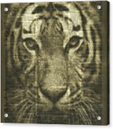 Tiger Over Dictionary Page Acrylic Print