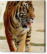 Tiger Pacing Acrylic Print