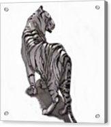 Tiger Pose Acrylic Print