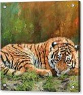 Tiger Repose Acrylic Print