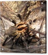 Tiger Spider  Acrylic Print