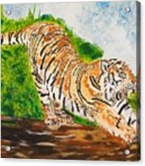 Tiger Stretching Acrylic Print