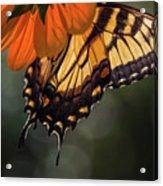 Tiger Swallowtail - 2 Acrylic Print