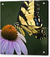 Tiger Swallowtail 2 Acrylic Print