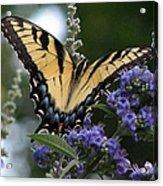 Tiger Swallowtail 3 Acrylic Print