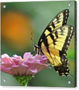 Tiger Swallowtail Butterfly Acrylic Print by Bill Cannon