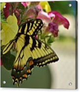 Tiger Swallowtail Butterfly On Begonia Bloom         June            Indiana Acrylic Print