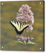 Tiger Swallowtail Butterfly On Common Milkweed 1 Acrylic Print