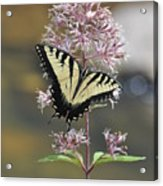 Tiger Swallowtail Butterfly On Common Milkweed 2 Acrylic Print
