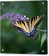 Tiger Swallowtail Female On Butterfly Bush Flowers Acrylic Print