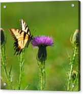 Tiger Swallowtail On Thistle Acrylic Print