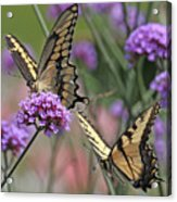 Tiger Swallowtails Acrylic Print