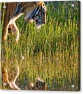Tiger Tiger Burning Bright Acrylic Print by Melody Watson