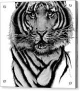 Tiger Tiger Acrylic Print