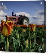 Tiger Tulip Acrylic Print