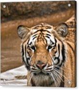 Tiger Wading Stream Acrylic Print
