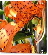Tigerlilies Acrylic Print