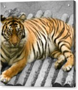 Tigers Look Acrylic Print