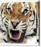Tigers Pace Acrylic Print