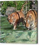 Tiger's Water Park Acrylic Print