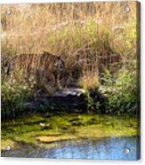 Tigress By The Stream Acrylic Print