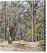 Tigress Walking Along A Track In Sal Forest Pench Tiger Reserve India Acrylic Print