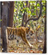 Tigress Walking Through Sal Forest In Pench Tiger Reserve  India Acrylic Print