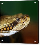Timber Rattler Head On Acrylic Print