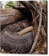 Timber Rattlesnake Acrylic Print