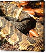 Timber Rattlesnake Horizontal Acrylic Print