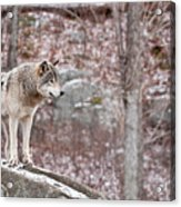 Timber Wolf On Rocks Acrylic Print by Michael Cummings