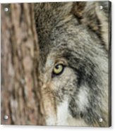 Timber Wolf Picture - Tw285 Acrylic Print