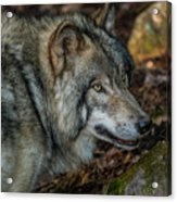 Timber Wolf Picture - Tw417 Acrylic Print