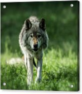 Timber Wolf Picture - Tw69 Acrylic Print