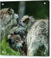 Timber Wolf Picture - Tw70 Acrylic Print