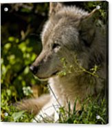 Timber Wolf Portrait Acrylic Print