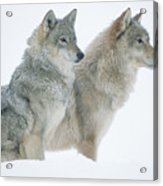 Timber Wolf Portrait Of Pair Sitting Acrylic Print