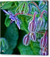 Tiny Blue Flower On A Bush At Pilgrim Place In Claremont-california  Acrylic Print