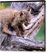 Tiny Bobcat Kitten Acrylic Print
