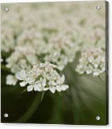 Tiny Cluster Of Queen Anne's Lace Acrylic Print