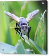 Tiny Fly Acrylic Print
