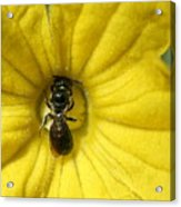 Tiny Insect Working In A Cucumber Flower Acrylic Print