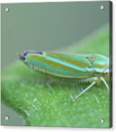 Tiny Leafhopper On Cucumber Leaf Acrylic Print