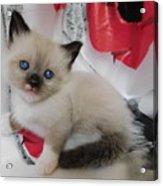 Tiny Micro Version Of Red White And Ragdoll Kitty Kitten Baby Cat Silktapestrykittenstm Acrylic Print
