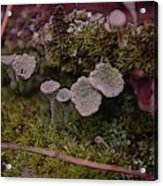 Tiny Mushrooms  Acrylic Print