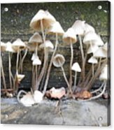 Tiny Mushrooms On The Step Acrylic Print by Carrie Viscome Skinner