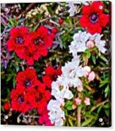 Burgundy Queen Bush At Pilgrim Place In Claremont-california Acrylic Print