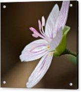 Tiny Spring Beauty Acrylic Print